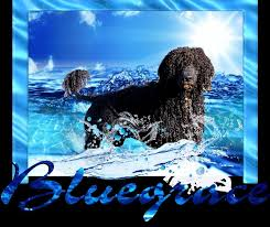 Portuguese Water Dog Shedding Problems by Bluegrace Portuguese Water Dogs