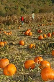 Pumpkin Patch Massachusetts by Berkshires Fall Day Trip