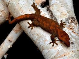 Halloween Pinstripe Crested Gecko by Northern Gecko Canada U0027s Source Of Premium U0026 Pure Bloodline New