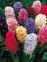 buy flower bulbs free shipping 99 99