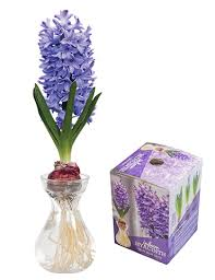 delft blue hyacinth forcing kit 93109