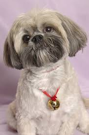 lhasa apso puppy shedding lhasa apsos what s about em what s bad about em
