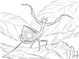 Click The Iris Praying Mantis Coloring Pages