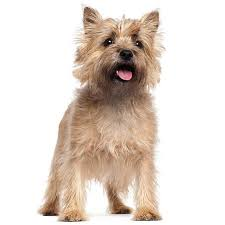 Cute Non Shedding Dog Breeds by Non Shedding Dogs Types Of Dogs That Don U0027t Shed Info