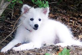 american eskimo dog temperament personality