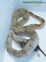 Corn Snake Shedding Too Often by Should I Feed My Snake Rats Or Mice