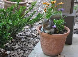 how to deter squirrels from your fall bulbs american