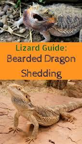 lizard guide bearded dragon shedding process pbs pet travel