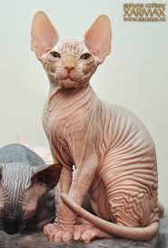 hairless cat price xarmax graduates sphynx kittens for hairless kittens for