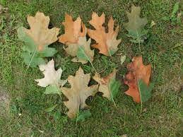 Photo 2 Typical Fallen Leaves Associated With Oak Wilt Monique Sakalidis