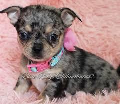 100 Where Is Chihuahua Located Blue Ridge S
