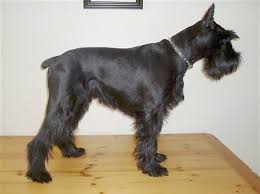 Do Giant Schnauzer Dogs Shed Hair by Standard Schnauzer Dog Breed Information And Pictures