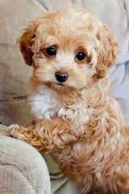 What Dog Sheds The Most by Best 25 Toy Dog Breeds Ideas On Pinterest Toy Puppies Fluffy