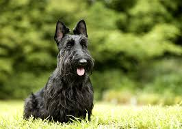 Do Wheaten Terrier Dogs Shed by Scottish Terrier Dog Breed Information Pictures Characteristics