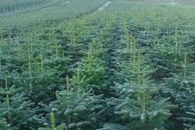 Santa Cruz Christmas Tree Farms by Santa Fir Christmas Tree Farm Guildford Surrey Sussex London