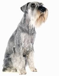 Large Non Shedding Dogs Pictures by 35 Dog Breeds That Don U0027t Shed Small Medium U0026 Large Breeds