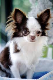 Do Pocket Puggles Shed by 25 Best Chihuahua Breeds Ideas On Pinterest Chiwawa Breeds