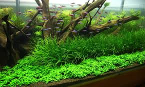 Heavily planted neon tank Aquascaping Pinterest