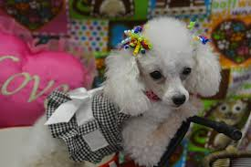 Non Shedding Small Dogs For Adoption puppies for sale teacup u0026 toy