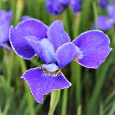 siberian iris bulbs for sale easy to grow bulbs