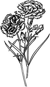 Carnation Scarlet Flower Colouring Page