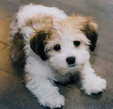 Miniature Dog Breeds That Dont Shed by Small Dogs That Dont Shed American Small Non Shedding Dog Breeds