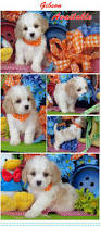 Non Shedding Small Dogs For Adoption by 104 Best Cavachons Images On Pinterest Dogs For Sale Cavalier