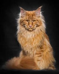 Do Maine Coons Shed In The Summer by Coon Cat Cool Zsazsa Bellagio Bloglovin U0027