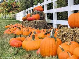Wheatland California Pumpkin Patch by Pumpkin Patch Time In Sacramento Sacramento Sidetracks