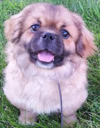 Big Lazy Non Shedding Dogs by Tibetan Spaniel Dog Breed Information And Images K9 Research Lab