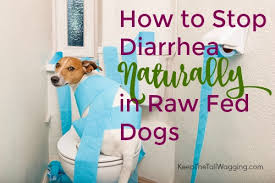 Too Much Pumpkin For Dogs Diarrhea by How To Stop Diarrhea Naturally In Raw Fed Dogs Keep The Tail Wagging