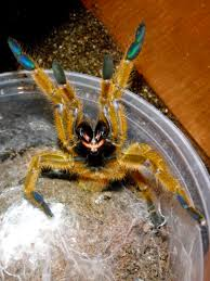 Do Tarantulas Shed Their Legs by Angry Tarantula My Life Of Animals Pinterest Spider Insects