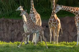 Busch Gardens wel es two baby giraffes