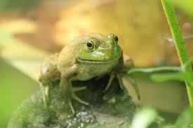 American Aquascapes | Predator Control And Pond Critters In Your ... Ohios 15 Species Of Frogs And Toads At A Glance Trekohio 13 Illinois Toads Frogs Midwestern Plants A Container Pond To Host Fish I Want Make One With How Raise Pictures Wikihow Utah Division Wildlife Rources Focus On Long Legged Cute Sitting Couple Cartoon Style Garden The Frog Pond Coach Michele Motorbike Frog Wikipedia Shop 145in Statue Lowescom