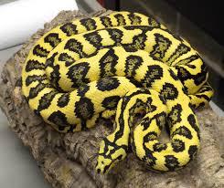 Coastal Carpet Python Facts by Jungle Carpet Python Beautiful Snake Creature Pinterest