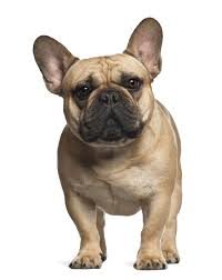 Low Shedding Big Dogs by Why French Bulldogs And Their Owners Are The Worst A Rant