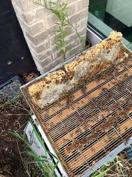 Linda's Bees: SPARK Elementary Phase 2 Berkshire Bkeeping All About Keeping Bees And Making Honey In Make Your Own Cow Top Bar Bee Hive 7 Steps With Pictures Management Pdf Hives For Sale Boardman Feeder Removing The Queen Excluder From A National At Ness Gardens Lindas Spark Elementary Phase 2 Langstroth Long Hive Rerche Google Ruche Pinterest Bad Luck Judgment Begning For Peakhivescouk Top Bar Beehives Search Apiarium Imkerei Emergency Cell Found Inspection One Month Adventures Of Bkeeper A Journal New Page 3