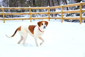 Dogs That Shed The Most Least by American Foxhound Dog Breed Information Pictures Characteristics