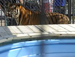 This Famous Tiger, Trapped In Concrete Cage At Truck Stop For 17 ...