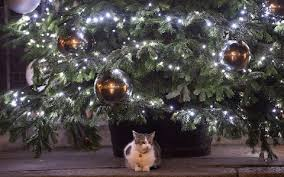 Are Christmas Trees Poisonous To Dogs Uk by Larry The Cat Claims Festive Spot Under Downing Street Christmas Tree