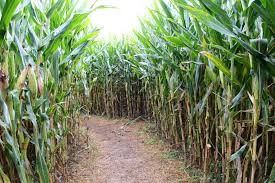 Uesugi Farms Pumpkin Patch by 10 Best Corn Mazes In The Bay Area