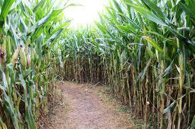 Pumpkin Patch Sf by 10 Best Corn Mazes In The Bay Area