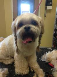 Shih Tzu Lhasa Apso Shedding by Braids On A Shih Tzu