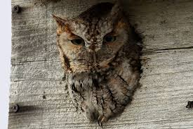 How To Attract Owls To Your Yard 55 Best Owl Images On Pinterest Barn Owls Children And Hunting Owls How To Feed Keep An Owlet Maya A Brief Introduction The Common Types Of Six Reasons Why You Dont Want An Owl As Pet Bird Introducing Gizmo Baby Whitefaced Youtube 2270 Animals 637 Oh Meine Uhus I Love Owls My Barn Cat Baby By Disneyqueen1 Deviantart All Things Nighttime Predator Cute Animals