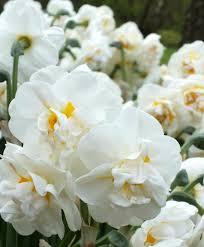 narcissus bridal crown narcissi narcissi flower bulb