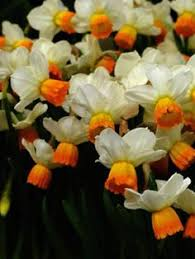 daffodil fortissimo narcissus planted fall and bulbs