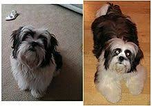 My Lhasa Apso Is Shedding Hair by Dog Grooming Wikipedia