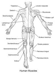Great Website With Free Biology Diagrams To Print And Or Color Human Muscles Back View