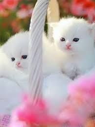 Download Cute White Kittens Love Wallpapers For Mobile Phone