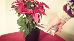 weihnachtsstern pflegen mit diesen tipps bleibt er länger schön